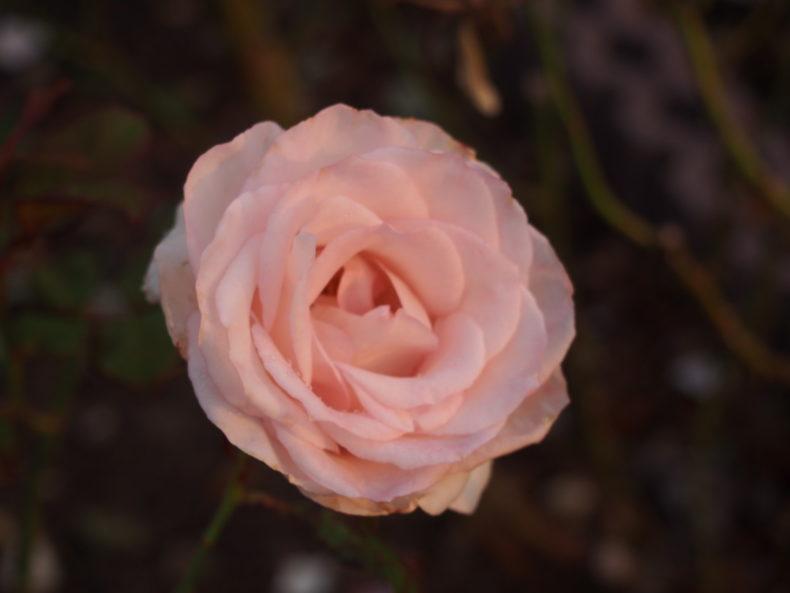 福山SA上り キレイなバラ